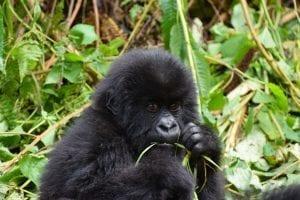 Rwanda-gorilla-rejser