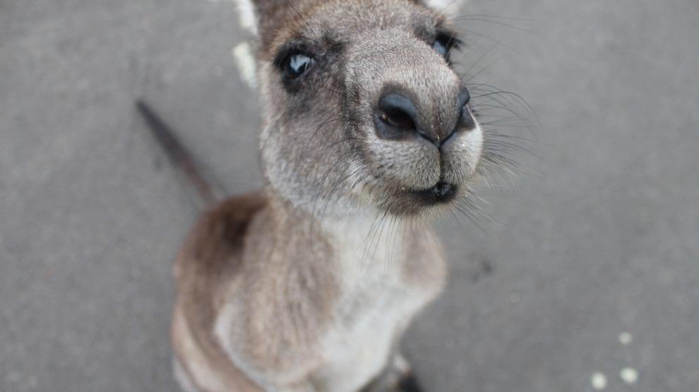 Australien - kænguru - rejser