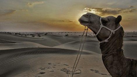 Indien - Jaisalmer, dromedar - rejser