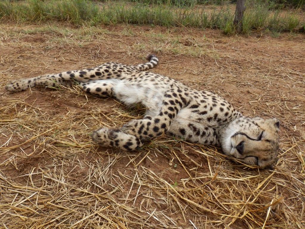 Nemibia - gepard, Maries billede - rejser