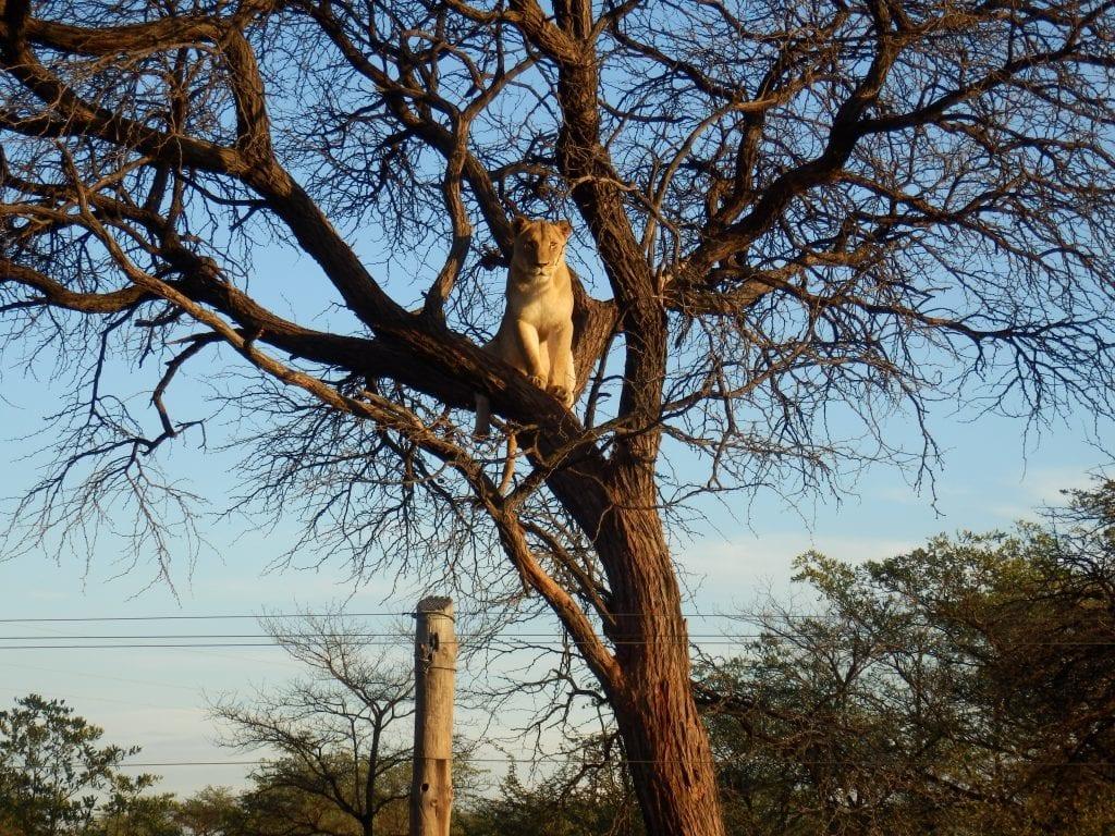 Namibia - løve i træ, Maries billede - rejser