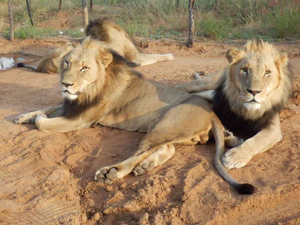 Namibia - løver, Maries billede - rejser