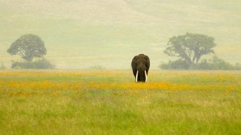 Tanzania _Ngorongoro Crater_WildlifeTuskerElephant