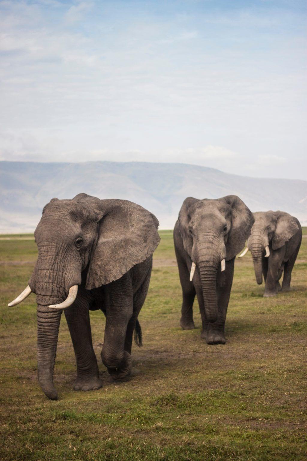 Elefanter - Ngorongoro - Tanzania