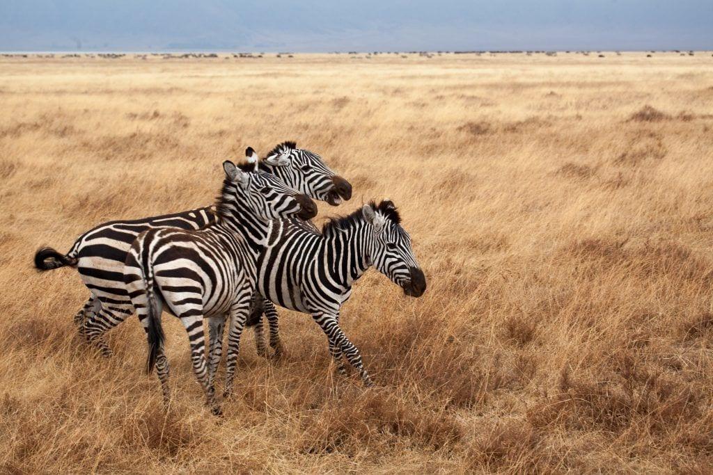 Zebra - Tanzania
