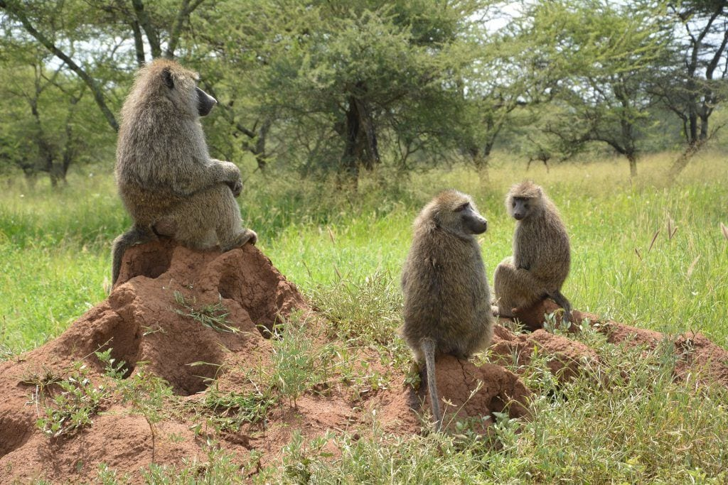 Baboons - Serengeti nationalpark