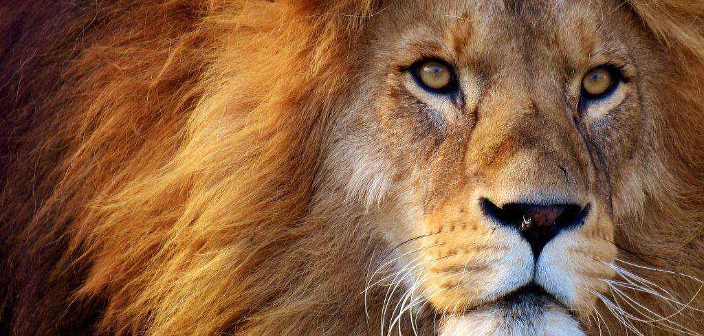 Afrika - løve