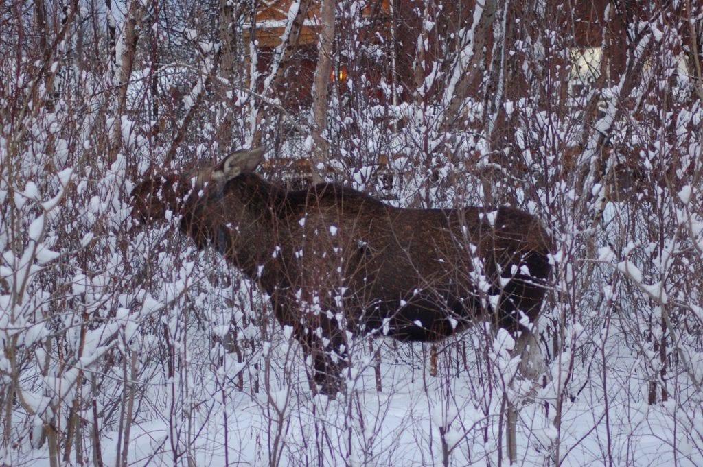 Norge - Alta, elg - rejser