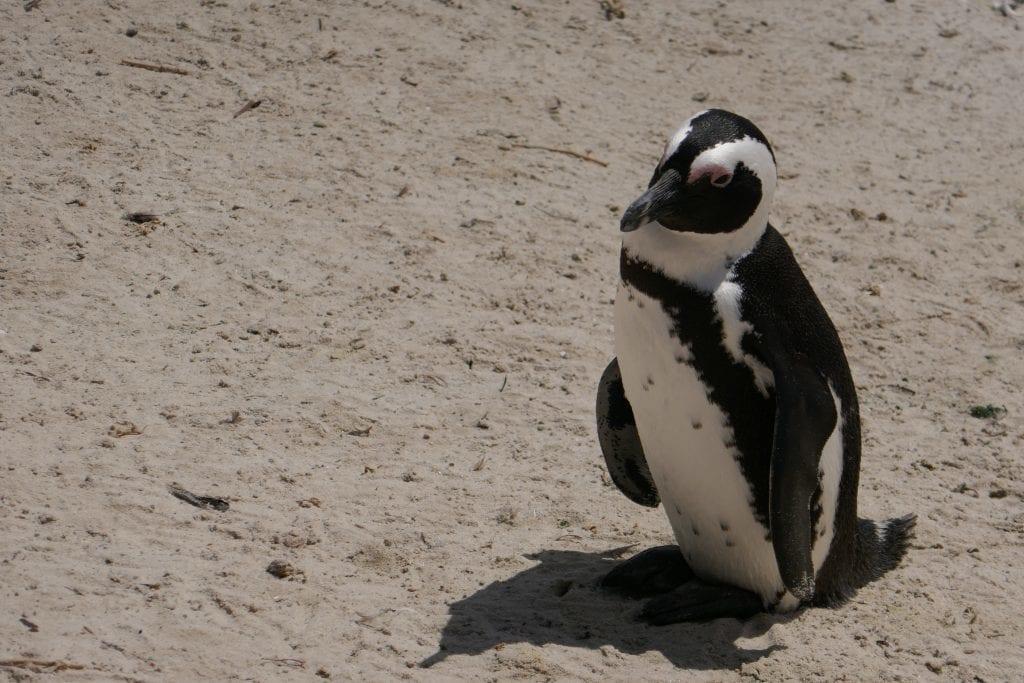 Sydafrika - pingvin rejser