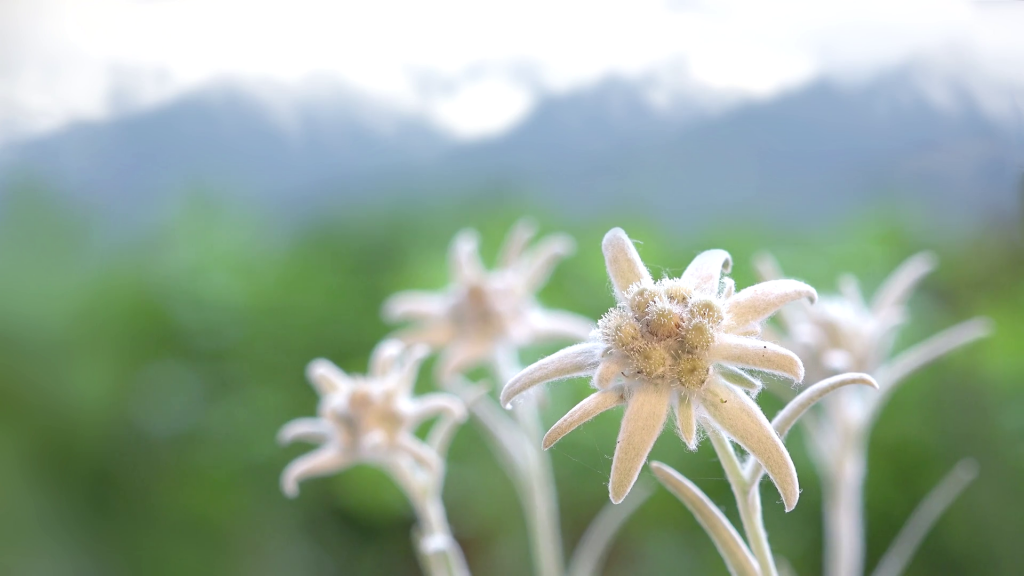 Kirgisistan - edelweiss blomst natur - rejser