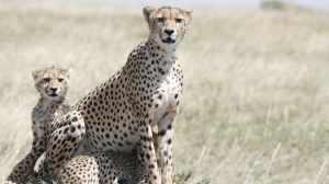 Tanzania safari leopard
