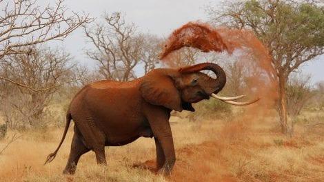 Kenya safari elefant