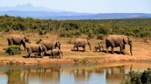 Sydafrika safari elefant