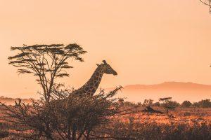 Kenya - Safari - Rejser
