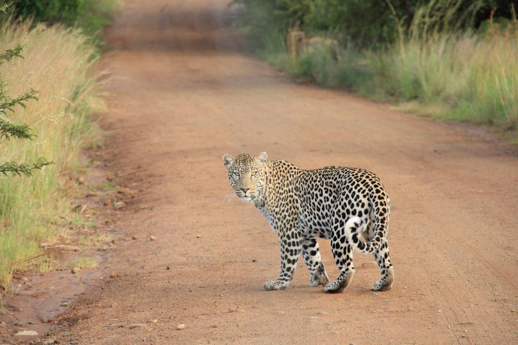 Sri Lanka - Leopard - Natur - Rejser