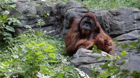 Borneo - orangutan natur Malaysia - rejser
