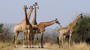 Sydafrika safari giraf
