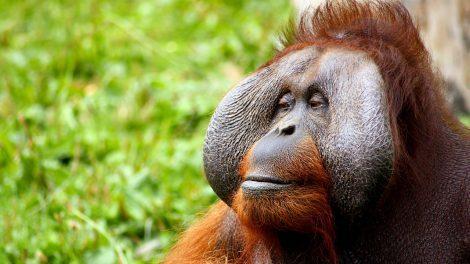 orangutan - borneo - rejser