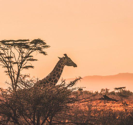 giraf - kenya - rejser