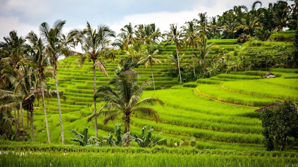 Rismarker - Bali - Rejser