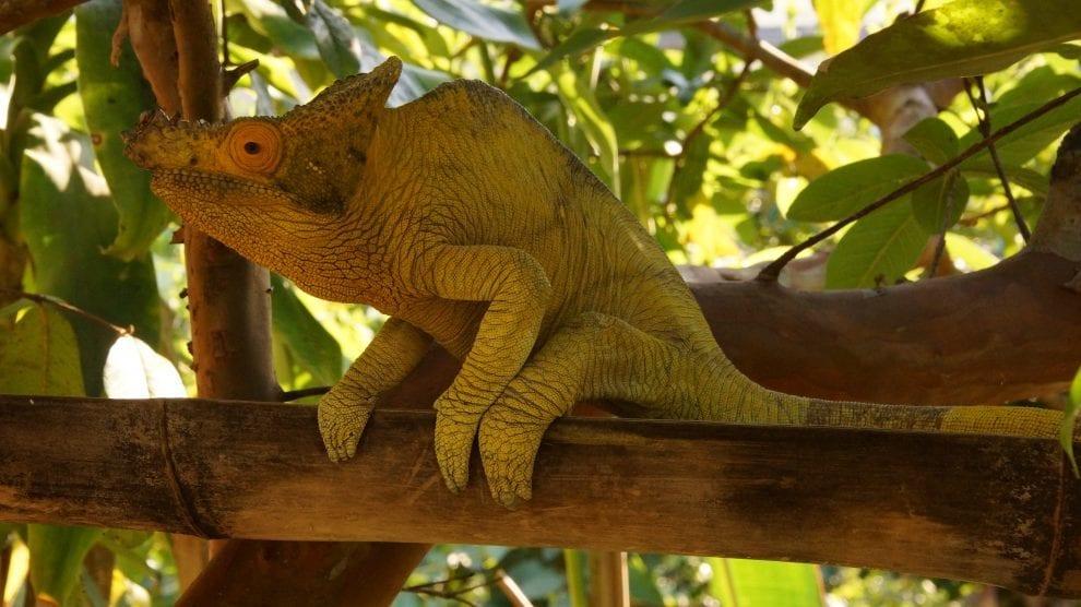 Madagaskar - kamæleon - rejser