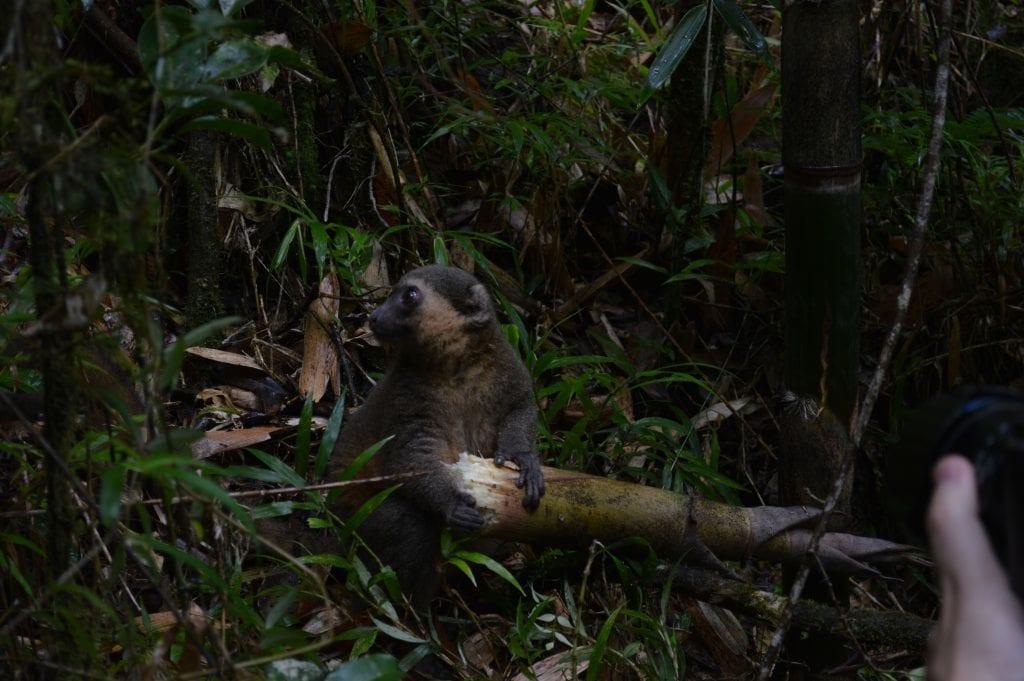 Madagaskar - lemur - rejser