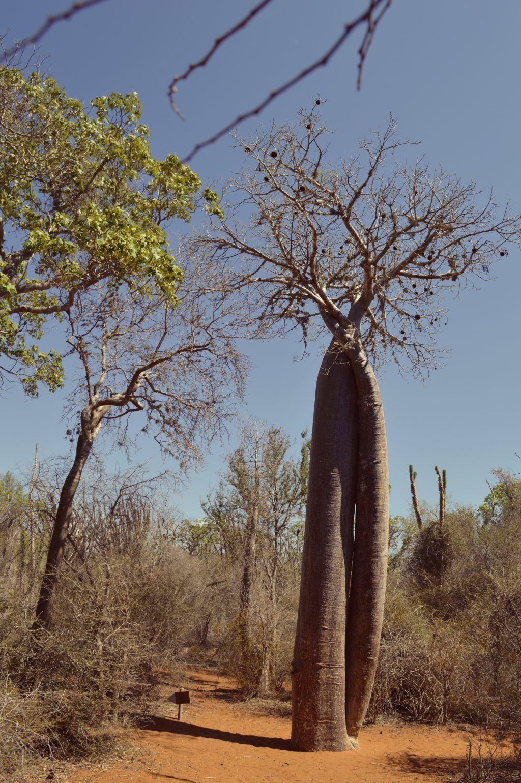 Madagaskar - Baobab ifaty - rejser